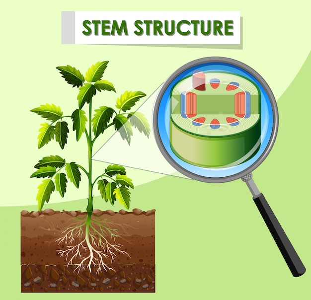 Diagram showing stem structure of plant