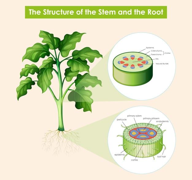 茎と根の構造を示す図