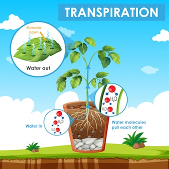 Diagram showing transpiration in plant