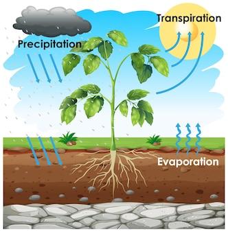 Diagramma che mostra la traspirazione con la pianta in giardino