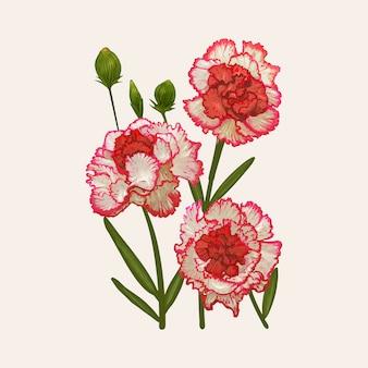 Dianthus caryophyllusのイラストレーション図