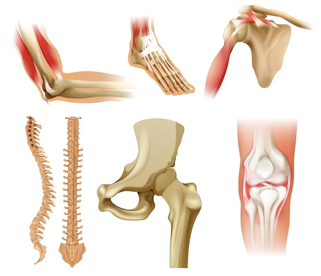 Different human bones