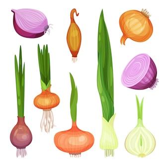 さまざまな種類の玉ねぎセット、白地に赤、黄色、白、緑のタマネギイラスト
