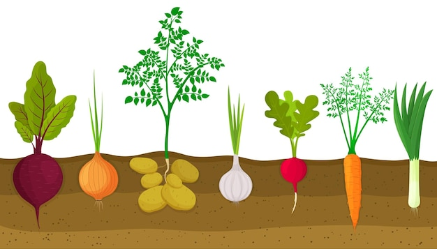 野菜パッチで育つさまざまな根菜。地下の根の構造を示す植物。ビート、タマネギ、ジャガイモ、ニンニク、大根、ニンジン