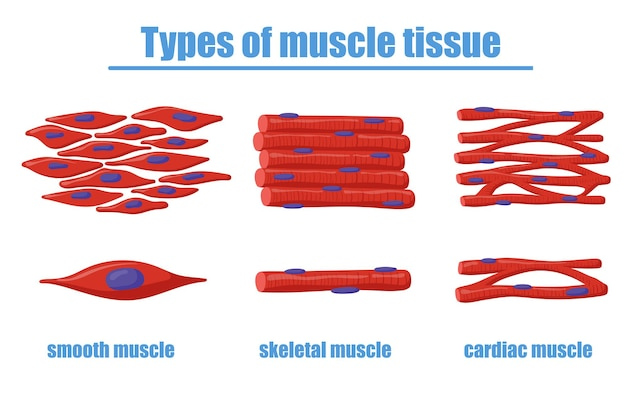 Different types of muscle tissue illustration