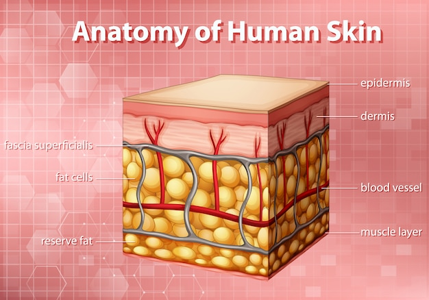 Digram showing anatomy of human skin on pink background