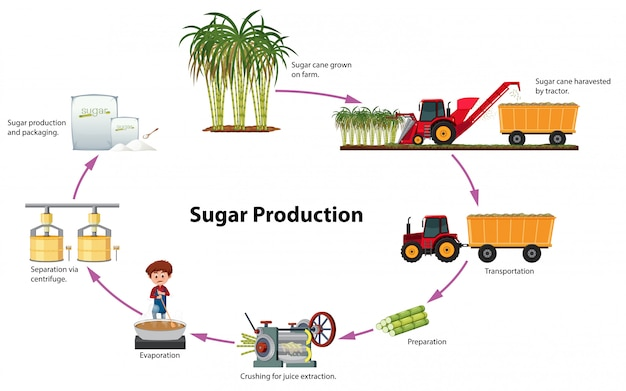A digram of sugar production