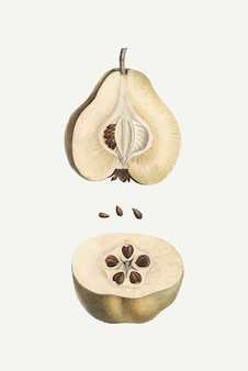 Dissected pear fruit