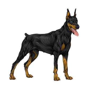 Doberman pinscher animal in hand drawing