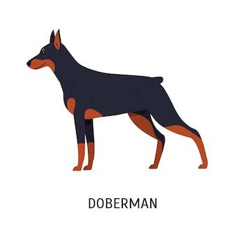 ドーベルマンまたはドーベルマンピンシャー。白い背景で隔離の見事な短い髪の純血種の犬。愛らしい家畜または保護者の品種のペット。フラット漫画スタイルのカラフルなベクトルイラスト。