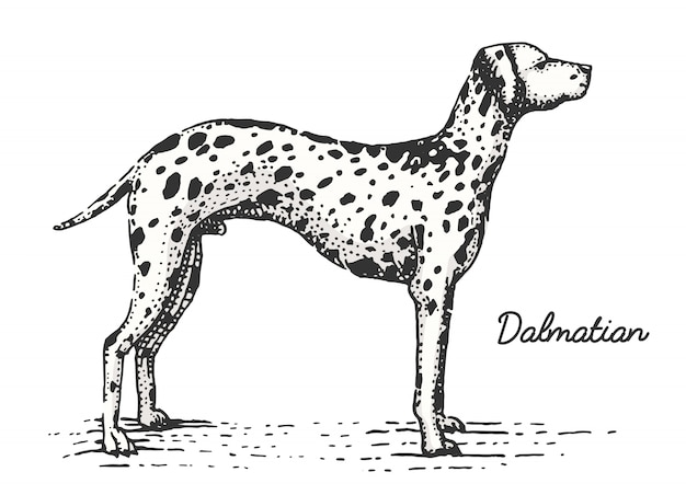 Dog breed engraved, hand drawn  illustration in woodcut scratchboard style, vintage species.