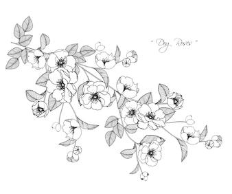 Dog rose flower drawings.