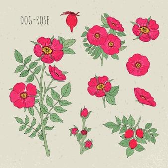 犬ローズ医療植物分離イラスト。植物、花、果物、葉、手描きセット。カラフルなビンテージスケッチ。