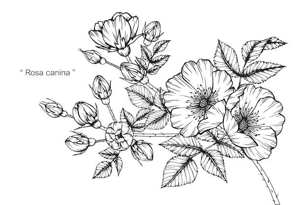 개 장미 꽃 그림 그리기