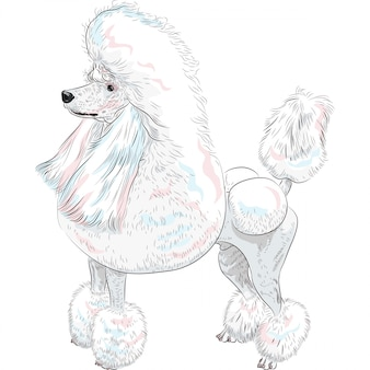 Dog white grand poodle breed standing