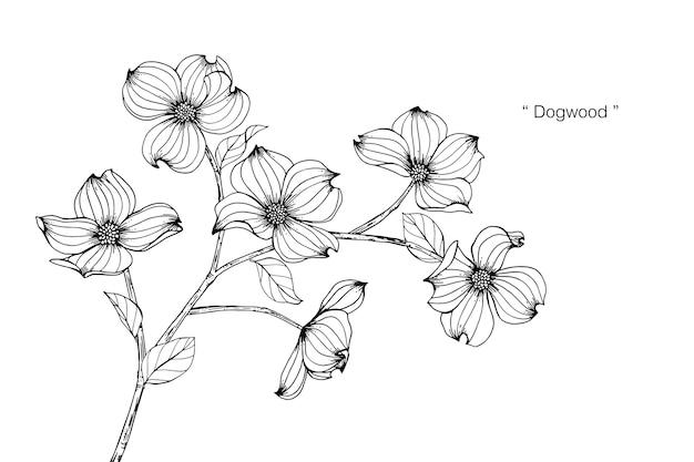 Dogwood flower drawing illustration