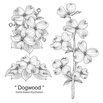 Dogwood flower drawings illustrations