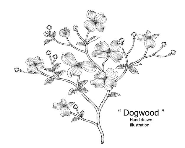 白で隔離されるハナミズキの花の線画