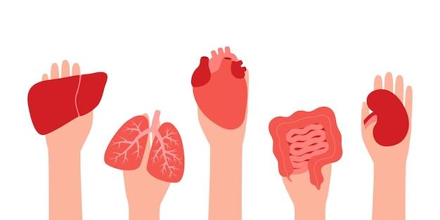 Donation organ liver lungs heart intestine gut kidney hands hold donor organs volunteer donate