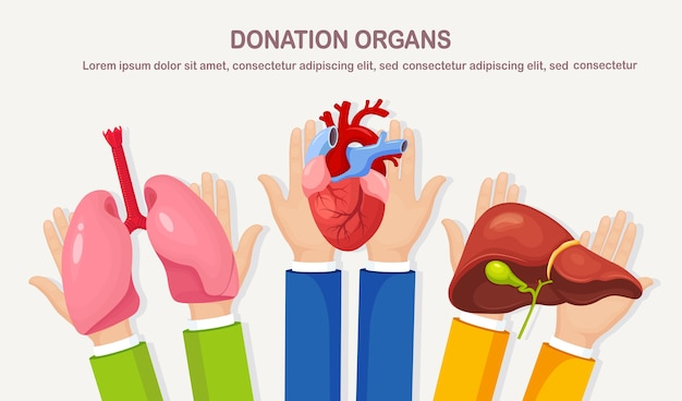 Donation organs. hands hold donor lungs, heart, liver for transplantation. volunteer aid for patient