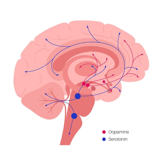 Путь дофамина и серотониновых гормонов в мозге человека. моноаминный нейромедиатор плоский вектор
