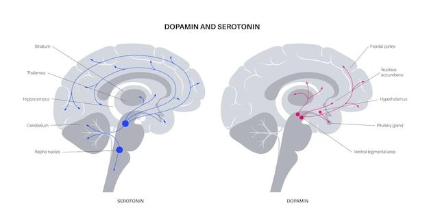人間の脳におけるドーパミンとセロトニンホルモンの経路。モノアミン神経伝達物質フラットベクター