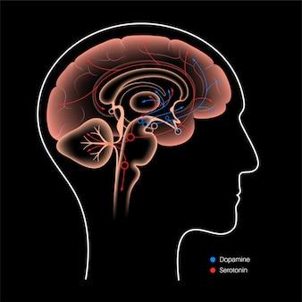 人間の脳におけるドーパミンとセロトニンホルモンの経路。モノアミン神経伝達物質ベクター