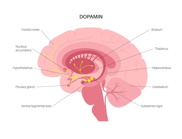 인간 두뇌의 도파민 경로. 모노아민 신경전달물질. 모터 제어 벡터 일러스트 레이 션