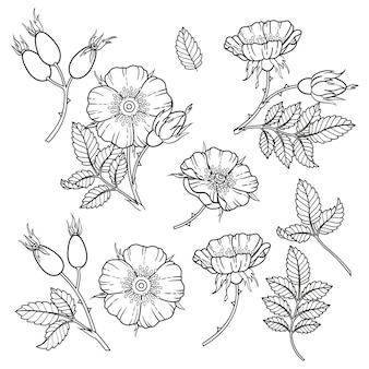 Dor-rose flowers, branches and leaves. coloring book.