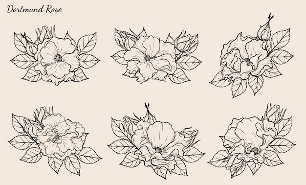 Dortmund rose vector set by hand drawing.
