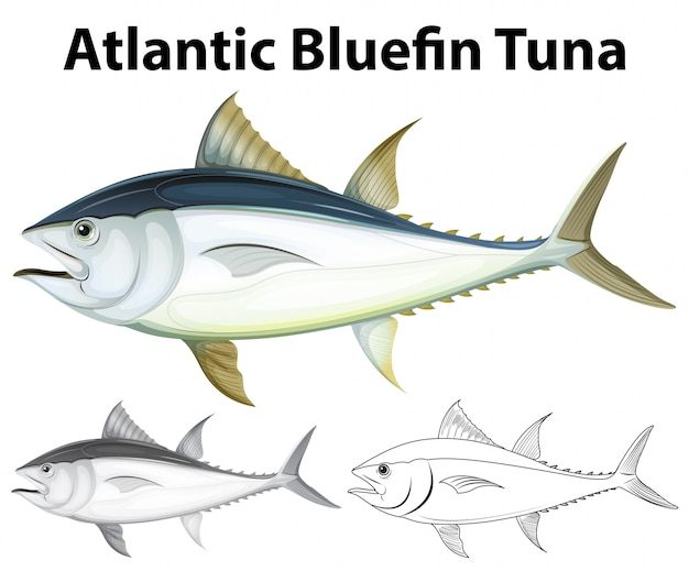 Drafting character for atlantic bluefin tuna illustration