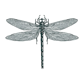 Dragonfly engraving hand drawn illustration