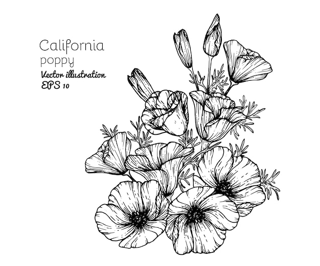 Drawing california poppy flowers