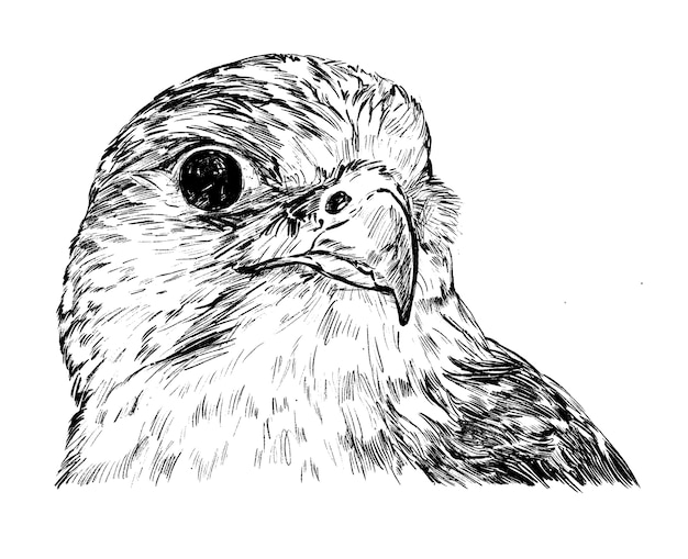 Drawing of the eagle hand draw
