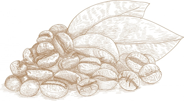 Drawing illustration of coffee bean