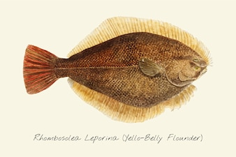 Drawing of a Yellow-belly Flounder