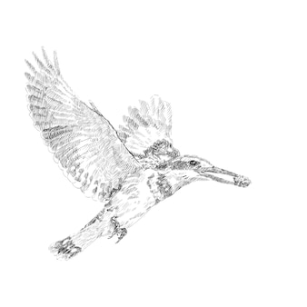 Drawing of pired kingfiher flying while holding food in mount