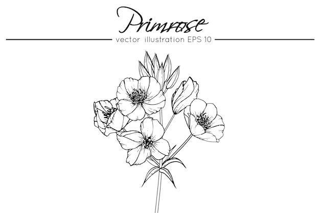 Drawing primrose flowers