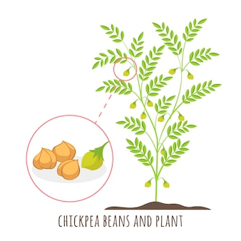 Drawn chickpea beans with plant illustration