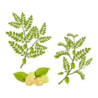 Drawn chickpea beans with plant