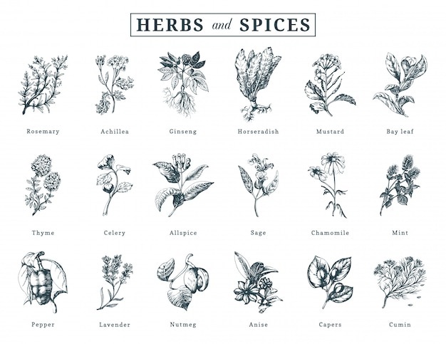 Drawn herbs and spices set. botanical illustrations of organic, eco plants.