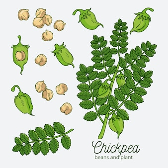 Drawn nutritive chickpea beans and plant