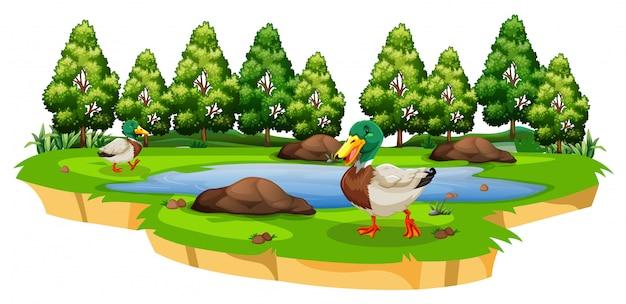 Ducks around a pond on white