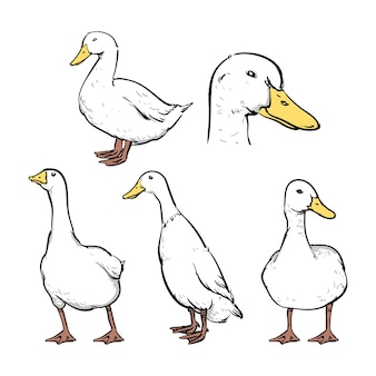 Ducks vector illustrations set