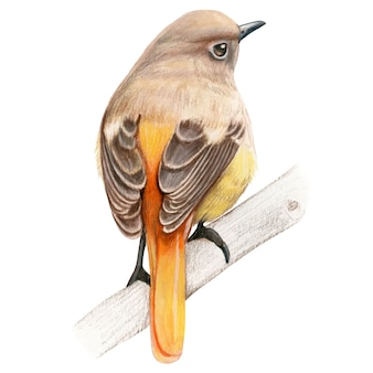 Durian redstart hand drawn bird watercolor colored pencils