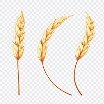 Ear of wheat or rice on isolated background