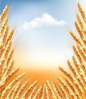 小麦の背景の耳。図。