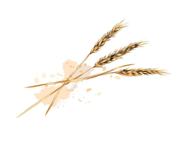 水彩画のスプラッシュからの小麦の穂、色付きの描画、リアル。