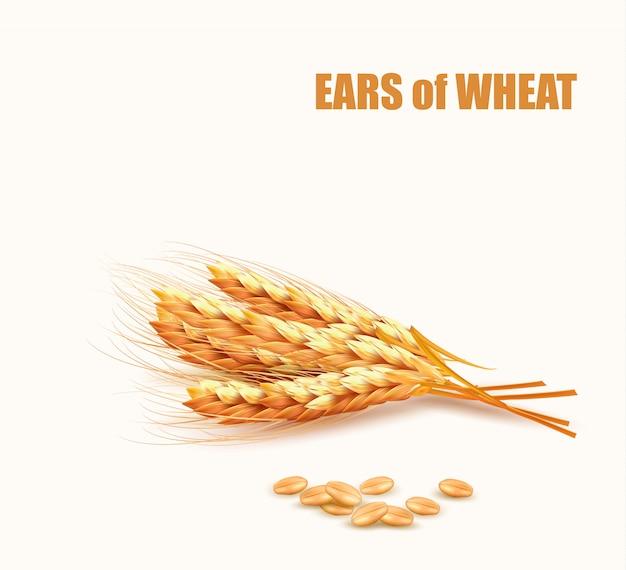 小麦の穂。図。