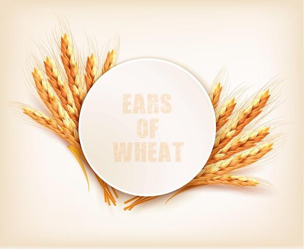 Колосья пшеницы. векторная иллюстрация.